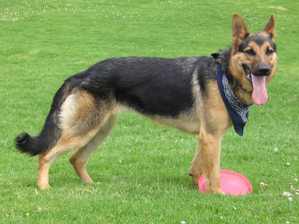 German Shepherd Dog with disc