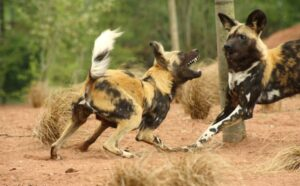 African dogs speed