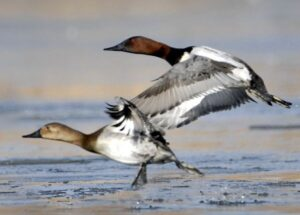 Canvasback bird speed  fastest bird