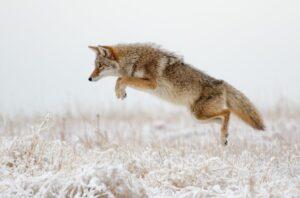 Coyote speed
