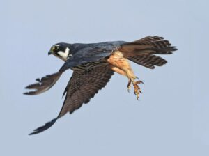 Eurasian Hobby speed fastest bird