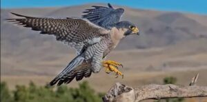 Shaheen Falcon  speed fastest peregrine falcon fastest bird