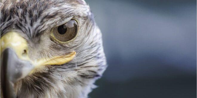 fastest peregrine falcon