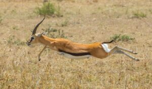 Gazelle speed