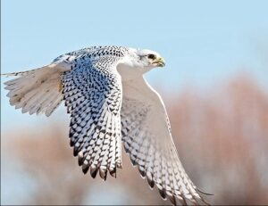 Gyrfalcon speed fastest bird