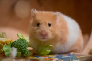 hamsters as pet