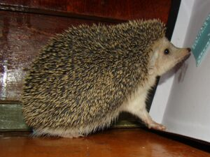Hedgehog for sell