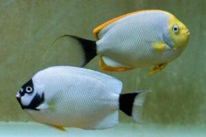 Masked fish