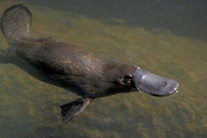 Platypus poisonous
