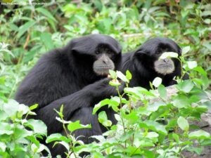 Siamang monkey  loyal animals list most faithful animal. Loyal Animals Which Animals Are Most Loyal most loyal animal in the world loyal pets