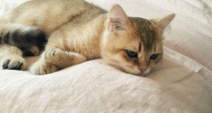 cat cries