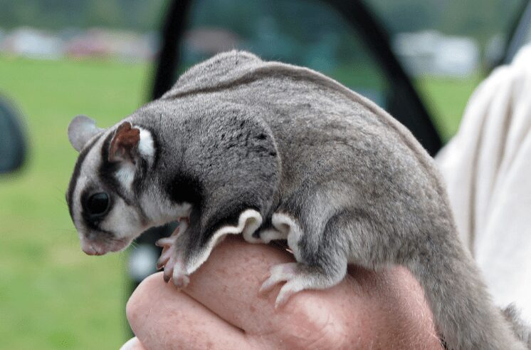 flying squirrel pet