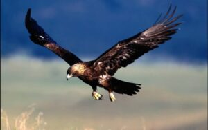 golden eagle speed  fastest bird