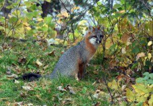 gray fox speed