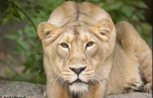 lion speed
