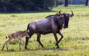 wildebeest speed