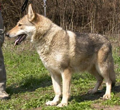 Afra wolf