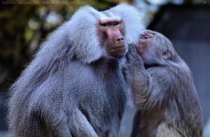Baboons monkey