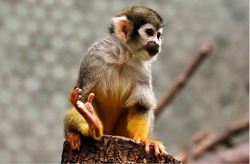 Capuchin monkey life