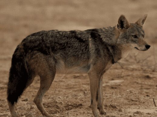 Egyptian Wolf north Africa wolf