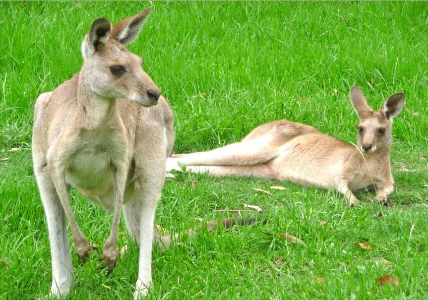 Kangaroos babie