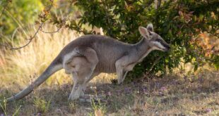 Kangaroo life
