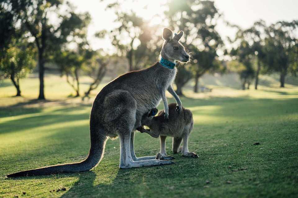 kangaroo babeis