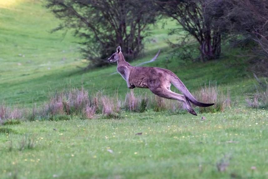 speed of the kangaroo