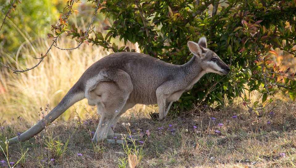 Kangaroo mother