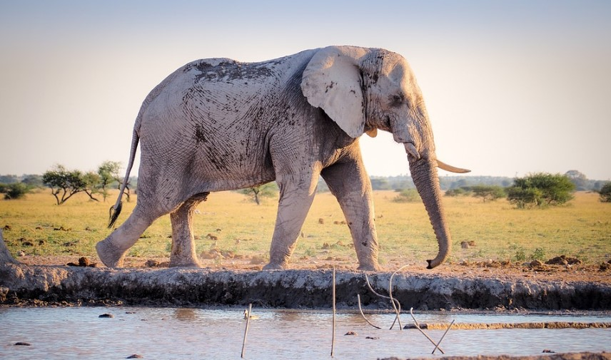 the bigest elephant in africa