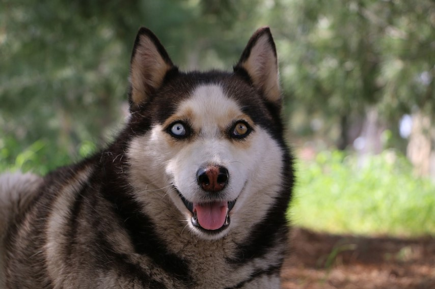 breeding a wolf s