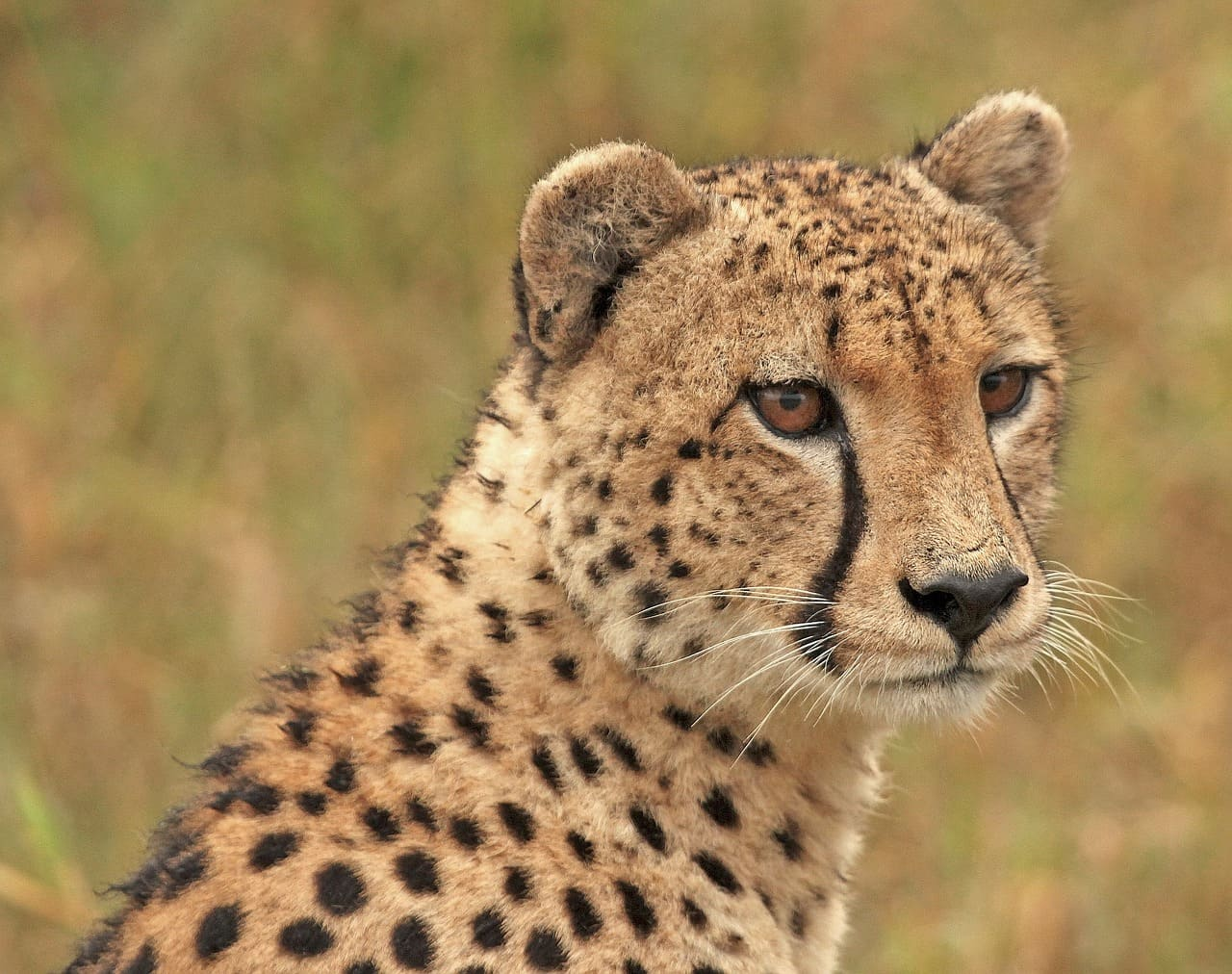 Cheetah life