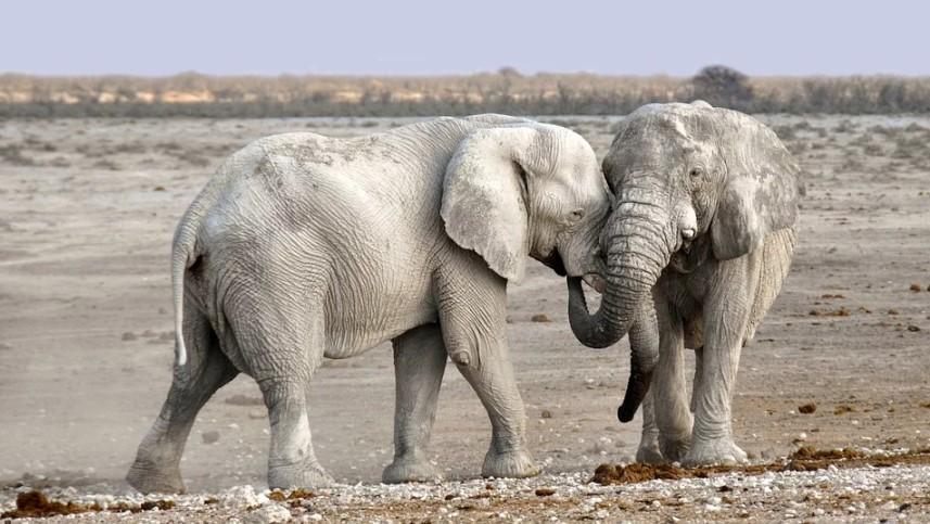 white elephant