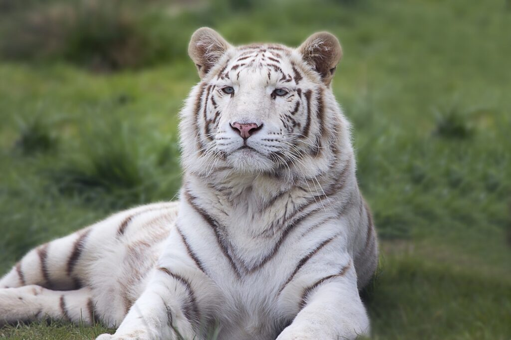 white Tiger Extinct Tiger extinct tigers species of extinct tigers tiger for sale black tiger
