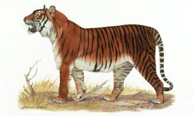 Bali Tiger white Tiger Extinct Tiger extinct tigers species of extinct tigers tiger for sale black tiger