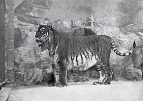 Caspian tiger picture