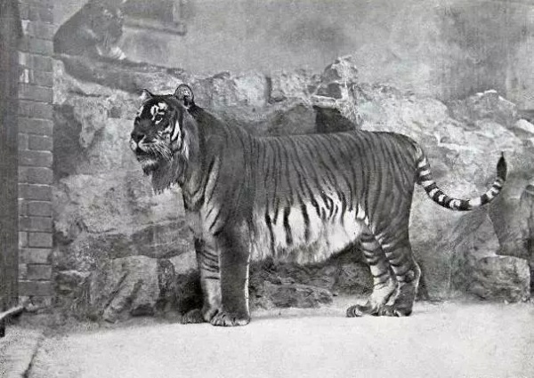 Caspian Tiger white Tiger Extinct Tiger extinct tigers species of extinct tigers tiger for sale black tiger