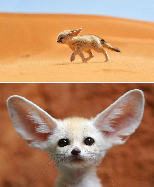 cute baby fennec fox smallest fox fennec fox for sale near me buy fennec fox fennec fox big ears fennec fox ears cute fennec fox