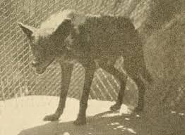 floridanus Wolf  florida wolf