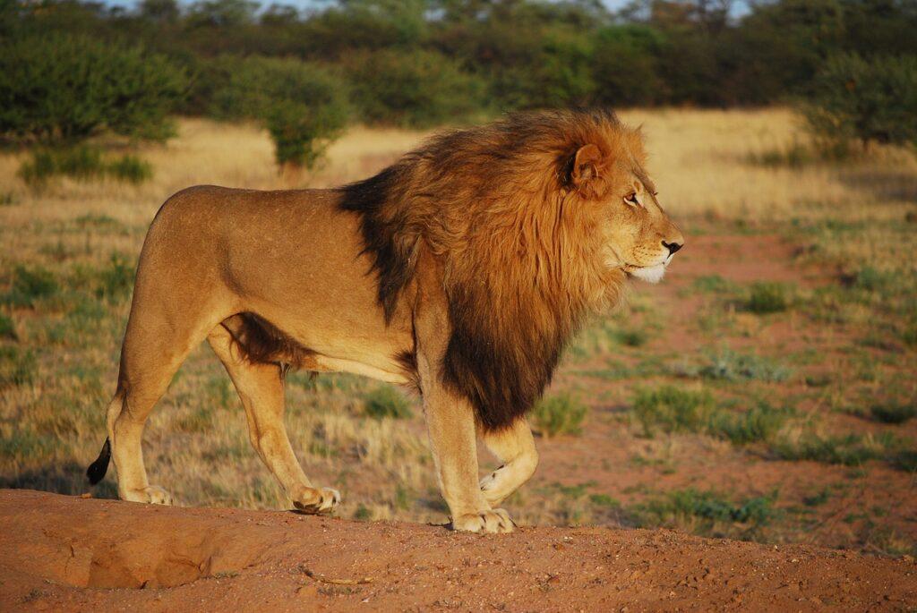 stuff about lions
