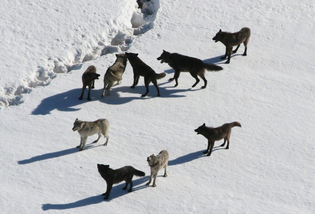 wolf habitat wolf sound wolf hunt