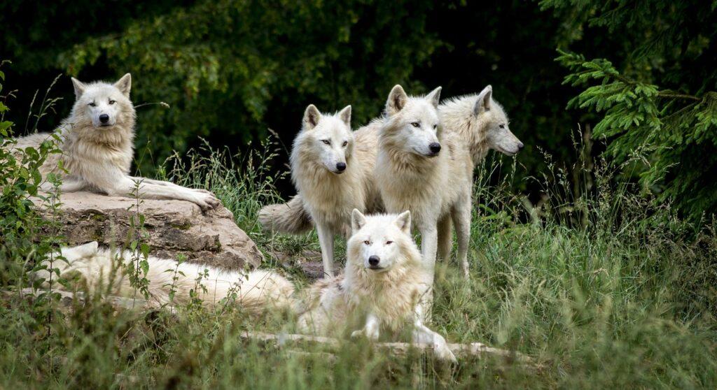 wolves legs wolves family
