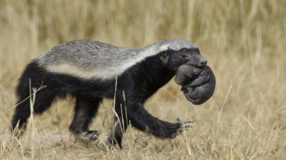 the angry honey badger