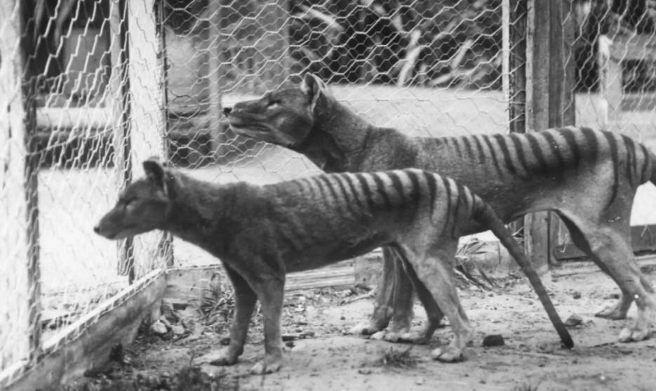 Tasmanian tiger familly