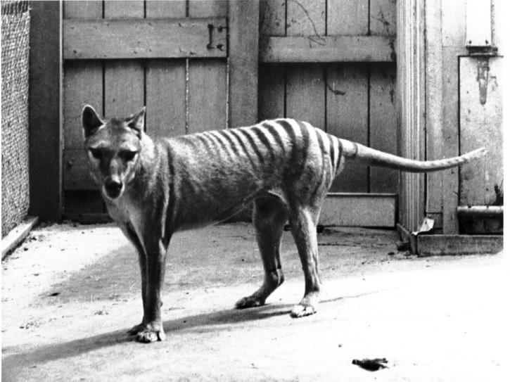 Tasmanian tiger extinct