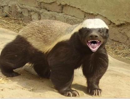 ratel honey badger