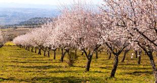 almond trees fruit