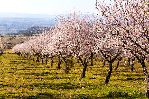 almond trees fruit