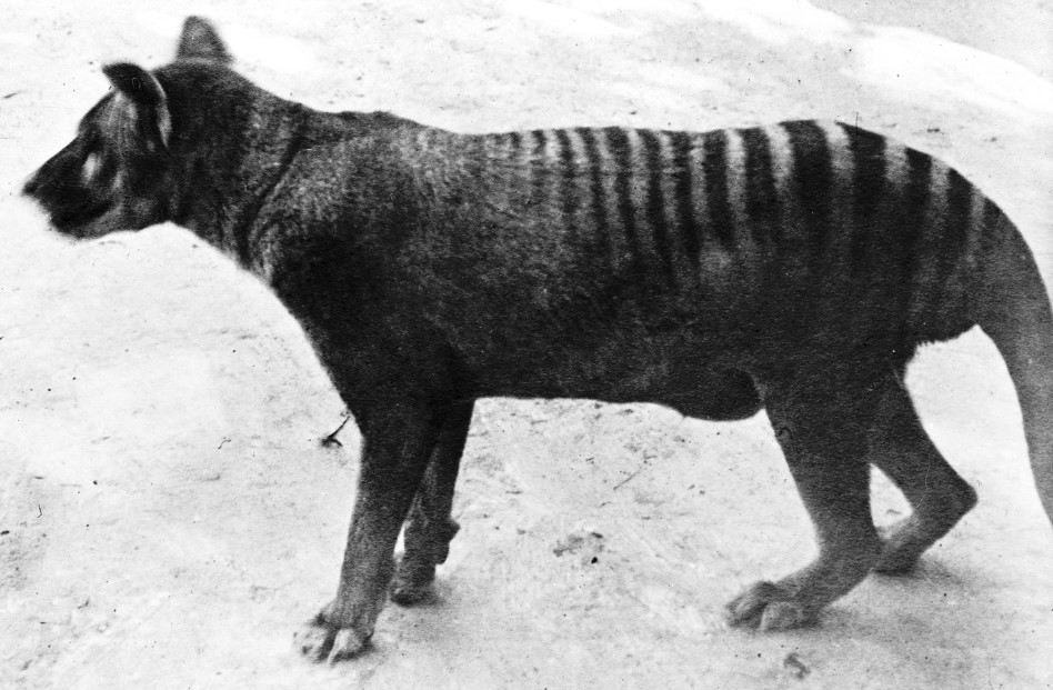 tiger wolf Tasmanian tiger  white Tiger Extinct Tiger extinct tigers species of extinct tigers tiger for sale black tiger