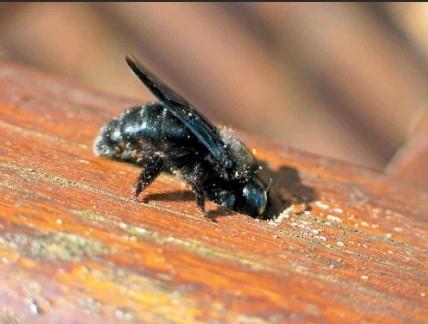 wood bees